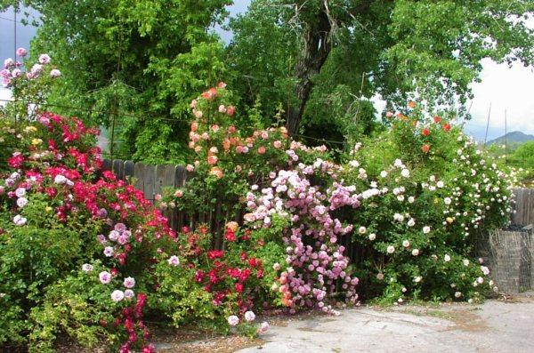 D co jardin rosiers exemples d 39 am nagements for Decoration jardin rosier